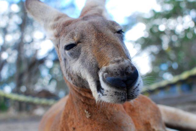 Co warto wiedzieć o kangurach?