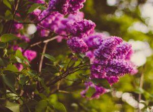 Krzewy kwitnące, które warto znać