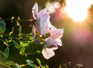 Kiedy i jak należy sadzić róże?