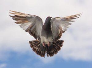 Na gołębie kolce