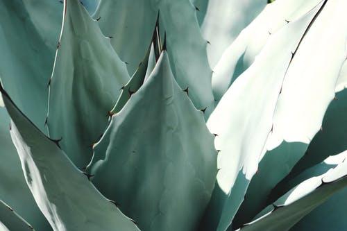 Agawy – podstawy uprawy w donicach i na otwartej przestrzeni