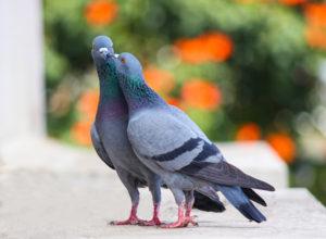 Zabezpieczenie przed gołębiami – skuteczne sposoby